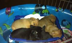 I have 2 male dachshund cross puppies looking for their forever homes next Sunday (Dec 4) Both are tan coloured boys Mom is an 8lb dachshund and dad is a 3lb pomeranian. These little guys are playful but love to cuddle. They will be a small lap size when