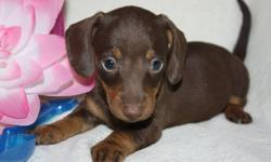 SPRING PUPPIES.  BEST TIME OF THE YEAR TO GET A PUPPY  These   adorable Mini Dachshunds   WE HAVE SMOOTH LONG AND WIRE AT THE MOMENT They are a vet checked and wormed, 1st shots done before they leave our home . They are all about huge ears and amazing