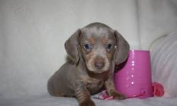 These   adorable Mini Dachshunds  They are a vet checked and de-wormed 1st shots done before they leave our home . They are all about huge ears and amazing colors and personality plus. We have been breeding these wonderful dogs for over 32 years. We