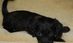 We have 2 small dachshund poodle puppies, 1 is a boy and 1 is a girl.  They should mature to be between 6 - 8 pounds as adults.  They have had their first and second set of vaccinations and have been dewormed.  They are very spoiled and love people.