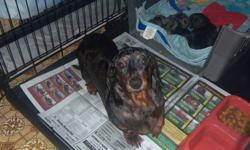 miniature smooth dachshund puppies,2 males and one female,they are black and tan,they will have there first shot and dewormed,they are ready to go Jan.13,hold your puppy with a deposit of $100.00.For more info.call 1-780-581-0207