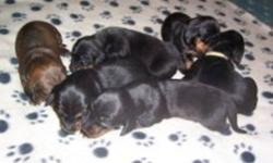 Born on New Years Day 3 black and tan males, $500.00 each.  Registration papers will be available on the day of purchase. Father is a chocolate and tan and the mother is a brindle. 1st vaccinations, wormed and michrochipped and both parents are on site.