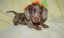 These adorable Mini Dachshunds smooth and one long hair,  are ready to go. They are already vet checked and de-wormed. They are all about huge ears and amazing colors and personality plus. We have been breeding these wonderful dogs for over 32 years. We