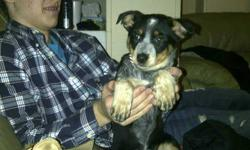 Dixie is a Female Australian Cattle Dog Cross puppy, Very friendly and gets along with our male 1 1/2yr Golden Retriever. Unfortunately, due to an unforeseen pregnancy we cannot raise 2 dogs and a baby in our tiny townhouse. She comes when she is called