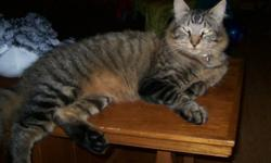 Our beautiful brown Tabby boy has been missing for 3 days now, and we are very worried!   He is a big sucky boy, and is wearing a greyish reflective collar that also had a bell on it.   Courtland area...   PLEASE, if you have seen him, or have him...our