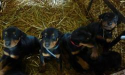 Hi,      my doberman had 10 puppies and there are some left. Parents are not agressives at all !!! Beautiful !! Those dogs are actually at my home in Saguenay (Quebec) but my Godmother is bringing some of them close to Montreal in a fews days !!! Make it
