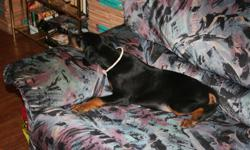 black tan Doberman   first vaccines tails docked dew claws removed vet record