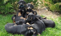 **** DOBERMAN PUPPIES ****   Black/tan ready for their new homes Dec 4, 2011 Family atmosphere, raised in home, thoroughly socialized and mentally stimulated. We take pride in guaranteeing sound body and mind.   They are exceptionally gentle, intelligent,