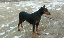 Having a planned litter of CKC registered doberman puppies in the begining of Jan. These pups will be excellent working prospects and great family dogs. They will be sold with a CKC limited registration. Discussions may be held regarding breeding options.
