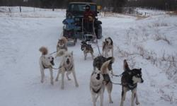 I have 11 sled dogs for sale, 8 siberians and 4 of them are Seppelas, and I have 3 that are siberian crossed with inuit dogs.  I have dog sled for 11 years and I am looking to sell all but for dogs. I will sell with mane leaders.  I would prefer to sell
