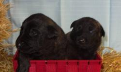 We are getting ready to sell our litter of Dutch Shepherd pups, we have 7 in total. Both parents were picked to specifications we required as pet owners as they are our companions first and a breeding pair second. They are highly intelligent, loyal, very