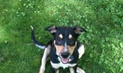 Elvis is a 4 month old boarder collie, blue heeler puppy. He is very sociable with other animals and has lots of energy to play. Elvis was one of 7 puppies that my dog Daisey had months ago. We decided that we wanted to keep one of her puppies however