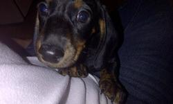 He is approximately 3 months old dashhaund, and is a fantastic little puppy, very lovable, loves to cuddle and has tons of energy. Unfortunately I have two little kids and they are not quite ready for a puppy  along with living in an appartment where they