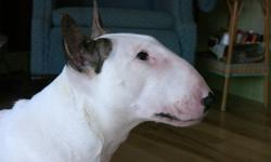CKC registered bull terrier female, 18 months, white with classic eye patch, 54 lbs. Bred by one of Canada's top breeders. Both parents international champions. A magnificent example of the breed - perfect egg-shaped head profile, deep muzzle, broad chest