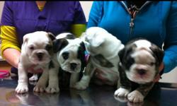 Beautiful bulldog puppies CKC registered, microchipped, good with kids. Ready to go to forever home January 11th. Up to date shots. This ad was posted with the Kijiji Classifieds app.