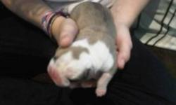 ENGLISH BULLDOG PUPPIES JUST BORN . DEPOSITS TO HOLD ARE $500. CALL 728-1715. 1 MALE AND 1 FEMALE ARE LEFT!!!