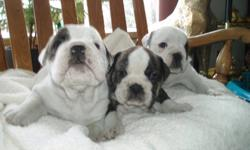 BEAUTIFULL ENGLISH BULL DOG PUPS, we have males and a couple of females they are now only 4 wks old and won't be ready to go for another 4 or so weeks, buy then they will have had all their shots and second vet visit,so if your interested in a awsome new