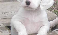 We have 4 English Setter Puppies for sale, 1 female and 3 males. They will be ready to go in 1 1/2 weeks. They will be vet checked, have first shots and de-wormed. Both parents are on site, Lexy(mother) is CKC registered and Bandit(father) is from a line