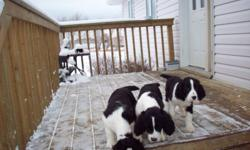 These are puppies raised in our home, so they are well socialized with adults, grandchildren and other dogs. These pups were dewormed ,are vet checked, have had eye checks done, tattooed and have received their vaccines and have started house training.