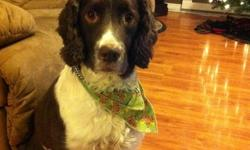 Looking for a new home due to illness in the family for our Springer Spaniel. He is a four year old neutered male wich has a lot of quirky characteristics, loves to chase lights on the ceiling, flys and adores stuffed animals. has slight manageable