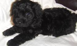 Only two handsome black male Yorkiepoo puppies left from a litter of seven. They have been to the vet and were given a clean bill of health. They have received their first and second and third sets of needles, and their Rabies shots. They have been