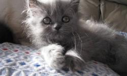 These beautiful kittens come with their first two vaccinations done and all dewormings as well as a kitten starter kit. Their beautiful mother is an exotic persian that is TCA registered. Their father is a very handsome ragdoll that is TICA and TCA