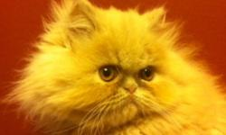 """Exotic Short hairs are Sometimes referred to the """"Lazy Man's Persian"""" They have the flat faces of the Persian but a short plush teddy-bear look. Only one left she comes with health certificate and vaccinations . For more information or to reserve you"""