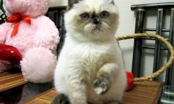 Gorgeous Exotics short hair, Himalayans, Persians kittens in RARE Solid Chocolate, Solid Lilac, Solid Blue, Solid Black, Color points and other colors!! Purebred, registered with CFA, CCA. Kittens are de-wormed and trained to any cat's food (soft/dry),