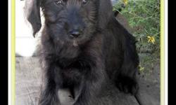 F1 Medium Labradoodle Puppies  ~ we have a new family of adorable F1 medium labradoodle puppies  ~ born August 18th they are ready to be adopted into your home  ~ they have had their 1st & 2nd shots, are vet-checked, dewormed, & micro-chipped  ~ your