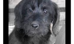 F1 Medium Labradoodle Puppies - 3 males left!!!   ~ we have a family of adorable F1 medium labradoodle puppies that are ready to be adopted!!  ~ only 3 males left from litter of 11.   ~email or call now to set up a time to come meet these adorable
