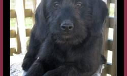F1 Medium Labradoodle Puppies, 5 males  ~ we have a 5 males, F1 medium labradoodle puppies  ~ born August 18th they are ready to be adopted into your home  ~ they have had their 2nd shots, are vet-checked, dewormed, & micro-chipped  ~ your puppy will come