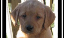 F1 Medium Labradoodle Puppies, so Loveable  ~ we have adorable F1 medium labradoodle puppies that are NOW READY TO ADOPT!!  ` we only have 1 male left in the tan colour.  The rest are black.  Reserve your puppy now!!!  ~ puppies come with shots, are