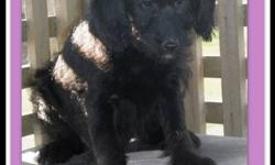 F1 Medium Labradoodle Puppies - sooo CUTE  ~ we have a new family of adorable F1 medium labradoodle puppies that are ready to be adopted now!!  ~ born August 18-2011  ~ puppies come with 1st & 2nd shots, are vet-checked, dewormed, & micro-chipped  ~