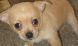 Family raised Chihuahua puppies for sale... They are so cute and Lovable they will be gone quick. 1- Male 2- Male $200 deposit to hold the puppy you want to take home. They will be pad trained, de-wormed and have their first shots. They will be ready to