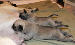 Reserve one for Christmas!!!  Born Dec 8th. Our two pugs had their first and only liter together and we're looking for good homes.  Pugs were never bred to chase mice, hunt, retrieve... they were bred to be perfect companions so we're looking for loving