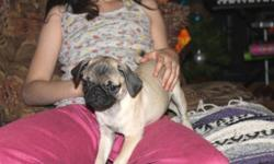 I have one male and one female searching for their forever homes, they are smaller than your average pug, are gorgeous lil pups and ready for their new home, they have been dewormed and have they do NOT have their first vaccine as yet if you wish this
