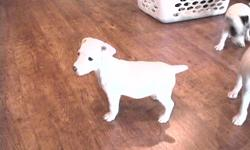 I have one female and one male Jack Russell terrier pup available. They are Champion sired, have had first vaccine and dewormed. Tails are docked according to standard. Located Vancouver Island near Comox, but can deliver to Calgary on Dec. 28th.