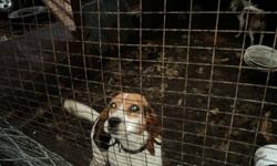 2 coming 3 year old beagle female. Not spayed. Recently acquired as a hunting dog but shows no real interest. Not fair to her as she would be better suited as a house dog.   Would like to get $100.
