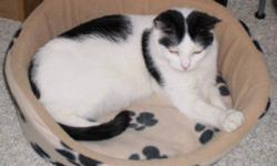 Breed: Domestic Short Hair-black and white Turkish Van   Age: Young   Sex: F   Size: M Usha is a lovely little white with black spots female, lean and leggy and very lovely. Her almond shaped eyes are perfectly framed by two black patches. She was found