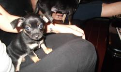 hi i have a female chihuahua for sale she is very playful n loves other animals. currently being liter trained. and will not have shots. if interested give me a call or e-mail and i will get back to you asap.. thanks n have a nice day :)