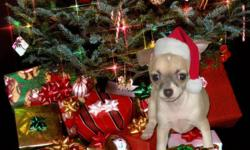 Adorable and affectionate female chihuahua puppy is ready for her new home.   This wee girl is outgoing and friendly, and is potty pad trained. She is dewormed and has had her first set of shots.   Mom and Dad's pics are attached....both weigh 5.5 lbs.