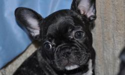 """""""YOUR NEW BEST FRIEND AWAITS!!""""   www.maandpawfrenchbulldogs.com   NOW READY TO GO TO THEIR NEW FOREVER HOMES!!   3 BLACK BRINDLE FEMALES AVAILABLE      Mom & Dad are both CKC & AKC Registered.   Impressive Champion bloodlines including PETI LLVER, VON"""