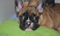 """""""YOUR NEW BEST FRIEND AWAITS!!""""   www.maandpawfrenchbulldogs.com     French Bulldog """"Adorable Female"""" CKC Registered     Mom & Dad are both CKC & AKC Registered.   Your new Puppy will be Microchipped, Vet Checked, Healthy, Well Socialized, Spoiled & Up to"""