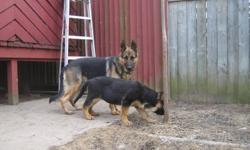 Pure breed female german shepherd puppy, 4 month old,both parents are on side. 647 220 6888. Thanks.