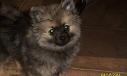 BEAUTIFUL BLACK AND TAN 4 MONTH OLD FEMALE POMERANIAN PUPPY FOR SALE, VERY WELL PAPER TRAINED.ALL NEEDLES AND WORMING UP TO DATE. VERY LOVEABLE  PUPPY.DOING WELL WITH LEARNING TO SIT ON COMMAND.SLEEPS THROUGH THE NIGHT IN HER KENNEL.EATS DRY PUPPY FOOD