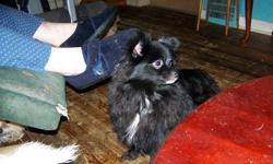 I am a female Pomeranian who needs a forever home. I am peepad trained. Full grown love children and adults. I like being cuddled pet and played with. I have had my first shots have been dewormed and vet checked.