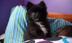 FEMALE POMERANIAN for sale black with white tips on her paws .  Parents both on site and can be seen.  Beautiful little dog with personality to match, great little lap dog