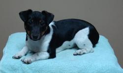 Jack Russell Puppy for sale.  5 months old.  Received complete series of vaccines and rabie shot, paper trained.  Pics taken January 7th, 2012.  If you have any other questions please call (204) 834-2606 after 6pm.