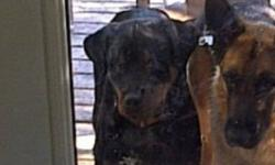 """She is almost 2 she's not fixed will be going into heat soon and will be ready to breed. She is extremely friendly has been raised around small kids and other animals. She's not huge but she's in really good shape and is very """"pretty"""". We moved and don't"""