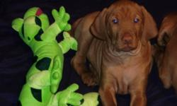"Hi everybody, my name is Shamus & my Grams said I could write this ad.  Grams says ""we are the most beautiful puppies ever!""  We are Pure Bred Vizsla puppies, we are a beautiful dark copper color and we have short hair.  We love kids of all ages, we love"